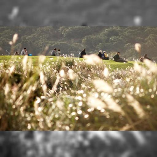 ススキの穂揺れる、陽明山の秋