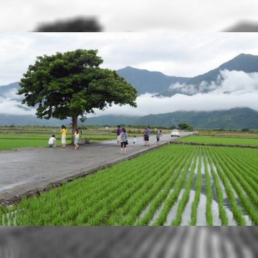 「金城武の木」ブームに地元農民カンカン/台湾・台東 | 観光 | 中央社フォーカス台湾