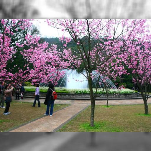 台北の桜、もうすぐ満開 台湾でお花見のミニトリップを! | 観光 | 中央社フォーカス台湾
