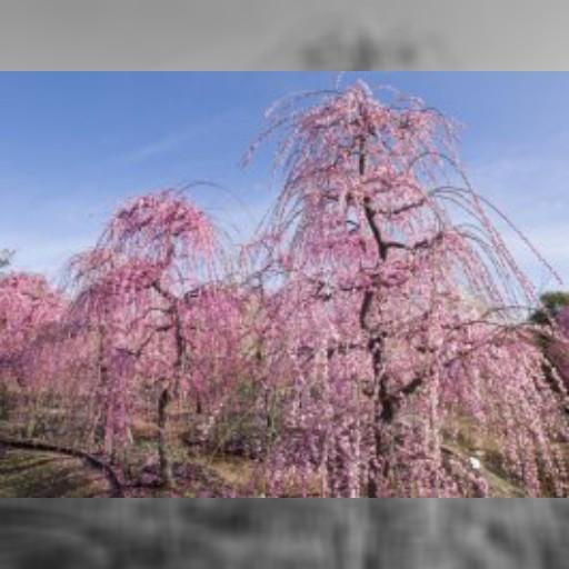 なばなの里 梅・しだれ梅・河津桜まつり なばなの里のイベント情報 – 観光三重