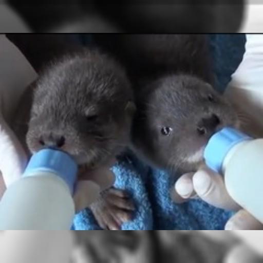 パンダだけではない、台北動物園のユーラシアカワウソの赤ちゃんに激萌え : 動画充実生活