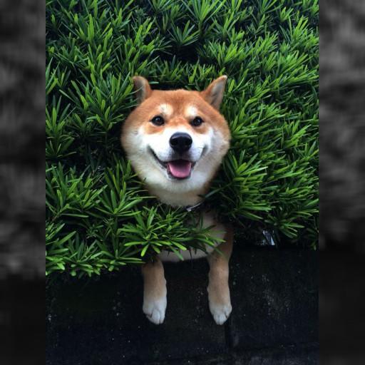 卡在草欉裡該怎辦 柴犬:故裝無事呆笑 | 即時新聞 | 20150824 | 蘋果日報