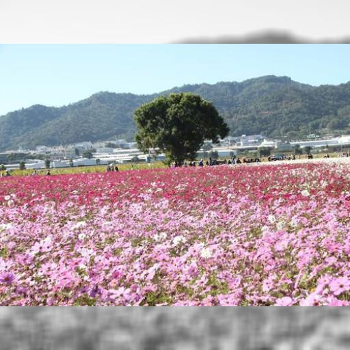 台湾・台中に花のじゅうたん 30ヘクタールが一面の花畑に | 社会 | 中央社フォーカス台湾