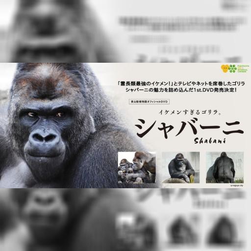 靈長類最強帥哥 猩猩寫真DVD本月發售 | 即時新聞 | 20151203 | 蘋果日報