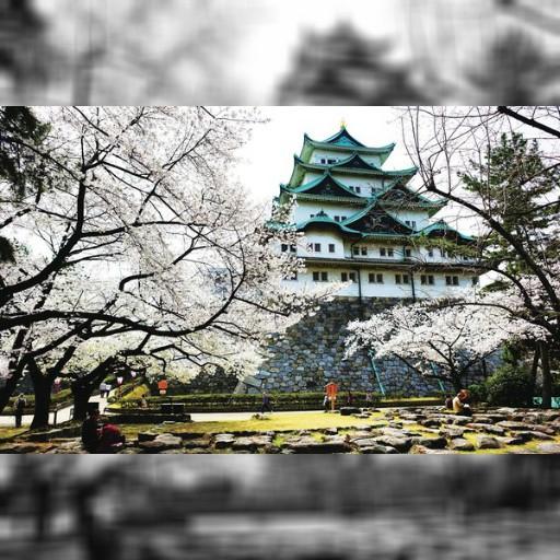 滿開的櫻花好浪漫!日本百大名城「名古屋城」