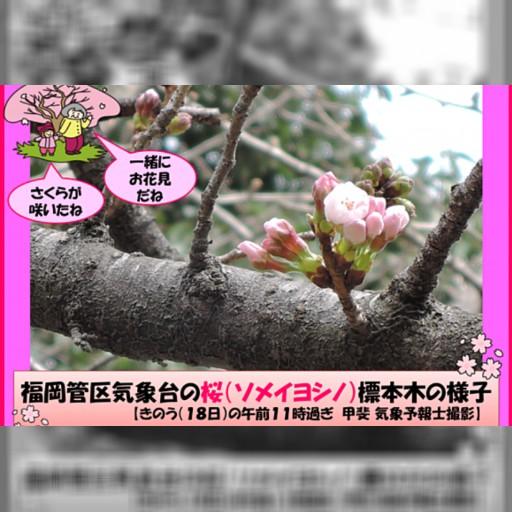 日本賞櫻季今年來早了!福岡、名古屋地區春櫻探頭 預計一周後全國陸續盛開-風傳媒