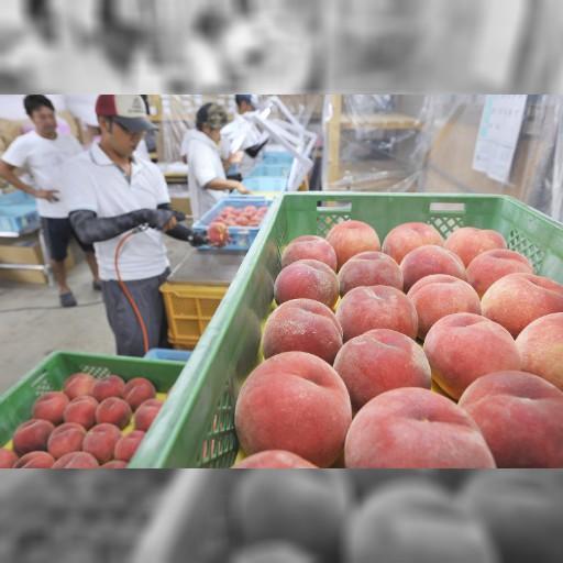 桃:食感とろっ 台湾へ輸出 山形・東根で選果作業始まる – 毎日新聞