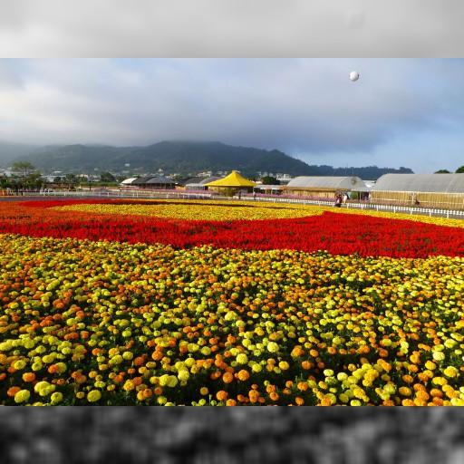 季節限定・秋に現れる花の海!?台湾台中「新社花海」は山奥一面の花畑 | 台湾 | トラベルjp<たびねす>