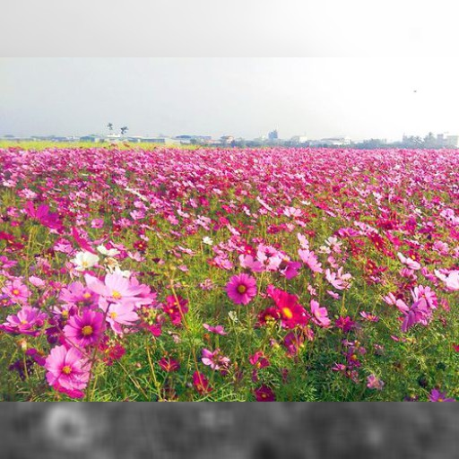 コスモスやヒマワリが満開 台中市農業局、来訪を呼び掛け/台湾 | 社会 | 中央社フォーカス台湾