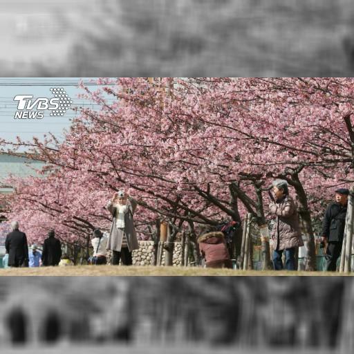 花季提早!東京賞櫻3月25日、名古屋3月26日│TVBS新聞網